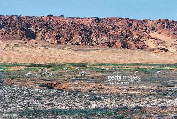 Herd of goats among the coastal dunes near Merca Somalia