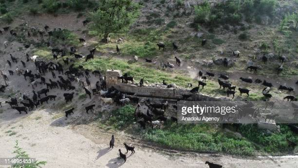Herd of goats are reached to the cooler and more fertile highlands by Karakecili Yoruks, from Cal district of Denizli province during hot summer days...
