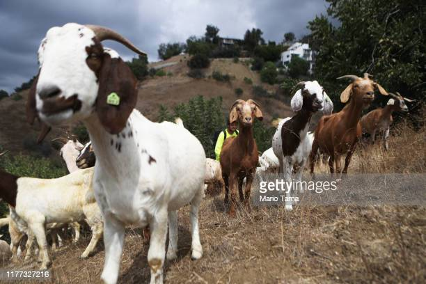 Herd of goats graze on a fire-prone hill as part of fire prevention efforts on September 26, 2019 in South Pasadena, California. The environmentally...