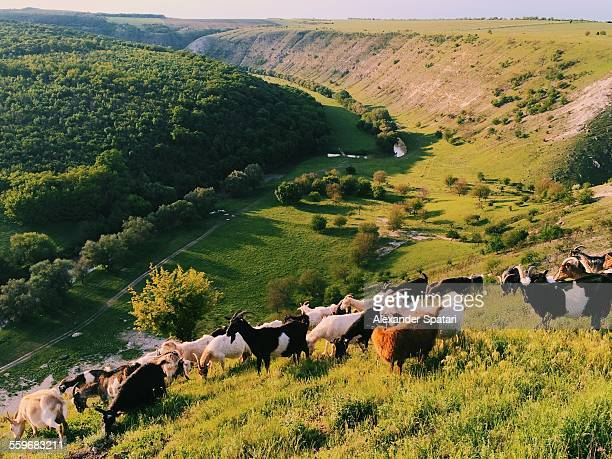herd of goats in butuceni village, orheiul vechi - moldova stock pictures, royalty-free photos & images