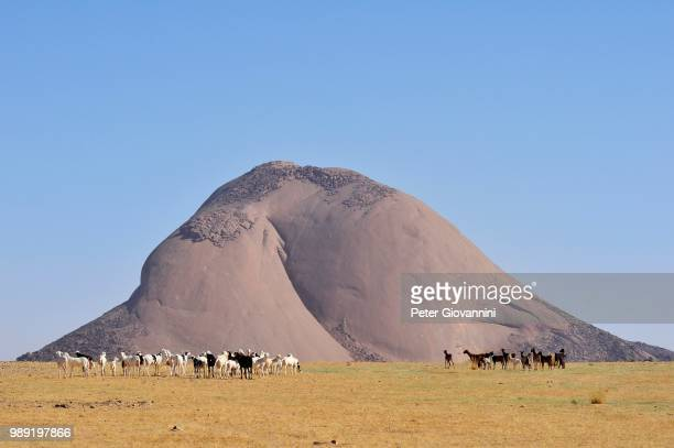 Herd of goats in front of the Aicha monolith in the flat desert, Adrar region, Mauritania