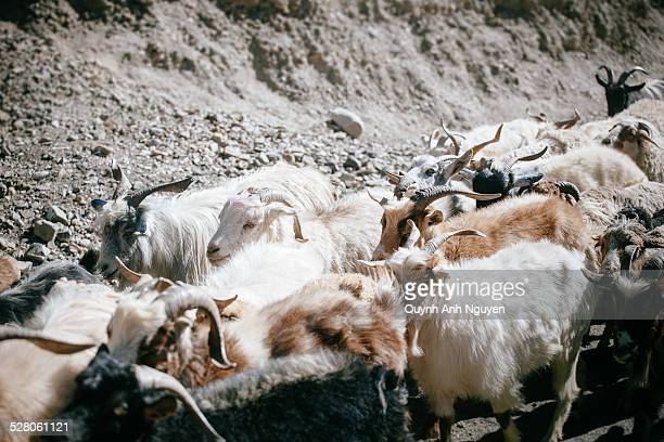 Herd of goats in Jammu and Kashmir, India