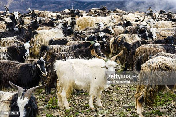 A herd of goats is moving on the search of food in the barren landscape of Upper Mustang