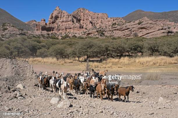 Herd of goats on the high plateau of the Altiplano in the Potosí Department, Bolivia.