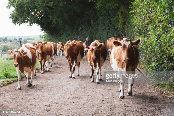 herd of guernsey cows being driven along a rural road. - herbivorous stock pictures, royalty-free photos & images