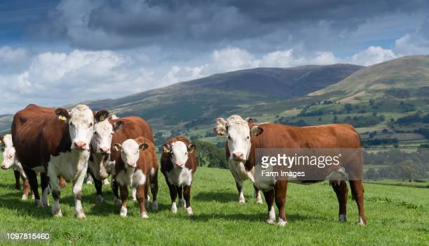 Herd of Hereford beef cattle in the English landscape Cumbria UK