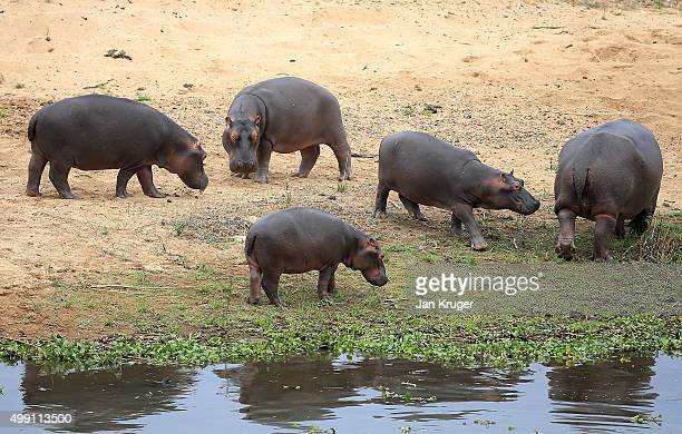 A herd of hippos relaxes by the waters edge during the final round of the Alfred Dunhill Championship at Leopard Creek Country Golf Club on November...