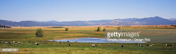 a herd of holstein cattle graze and drink around lake henshaw, with meadows and mountains in the background - timothy hearsum stock-fotos und bilder
