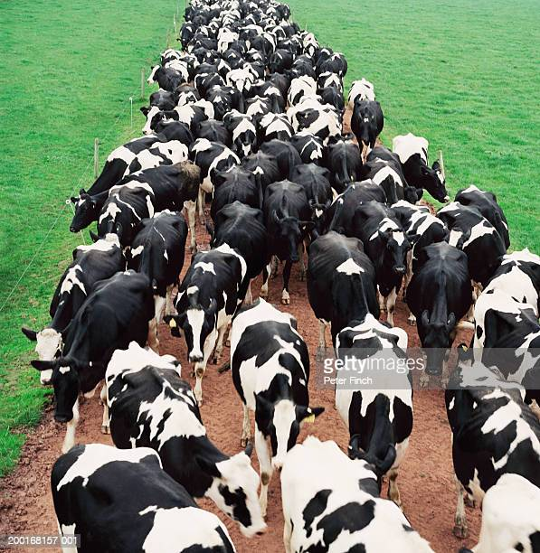 herd of holstein-friesian cows on path in field, elevated view - mamífero ungulado - fotografias e filmes do acervo