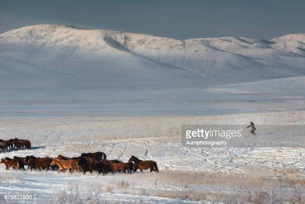 herd of horses at the snow field in mongolia. - モンゴル ストックフォトと画像