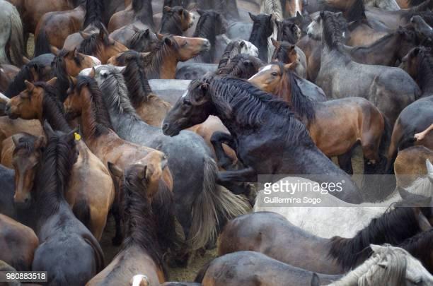 Herd of horses, Galicia, Spain