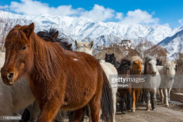 herd of horses in front of stakna gompa (monastery), ladakh, india - mammal stock pictures, royalty-free photos & images