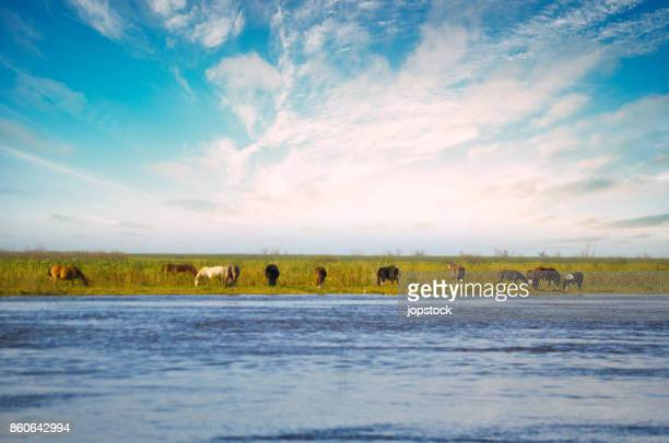 Herd of horses in the coast of Parana River