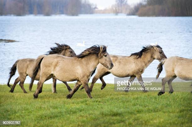 A herd of horses is led to a higher ground as water levels rise at Munnikenland in Poederoijen The Netherlands on January 8 following heavy rains and...