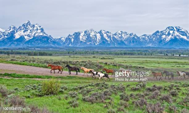 a herd of horses move down a dirt road with the magnificent teton mountains in the background. - grand teton national park stock pictures, royalty-free photos & images