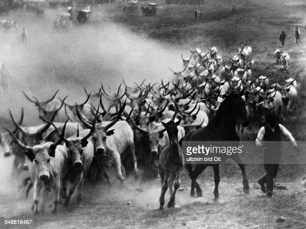Herd of Hungarian longhorns in the Puszta - undated - Photographer: Rudolf Balogh - Published by: 'Uhu' 4/1933 Vintage property of ullstein bild