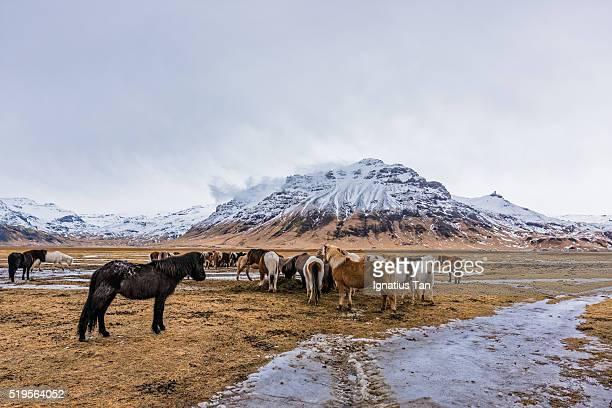 herd of icelandic horses - ignatius tan stock photos and pictures