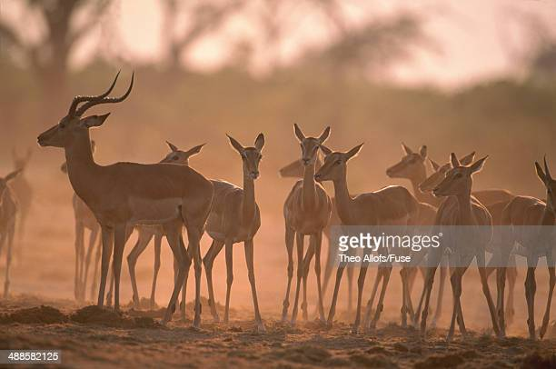 herd of impala - en:public_domain stock pictures, royalty-free photos & images