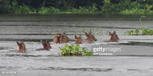 A herd of Indian hog deer swims through flood waters at Kaziranga National Park about 250 kilometres east of Guwahati on July 10 2017 / AFP PHOTO /...