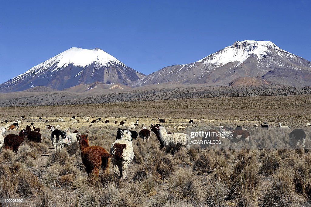 A herd of llamas and alpacas are seen grazing at the foot of the Payachata peaks in the Sajama National Park, in Sajama, Bolivia, some 300 kms southwest of La Paz, near the Chilean border on August 5, 2009. In this remote region, where the production for export of llama, alpaca and vicuna wool are the foundation of the economy, the global financial crisis has hit hard. Coveted in the fashion industry, the price of the wool from these animals has fallen sharply - in some cases by up to 50% compared to last year - and brought the crisis that originated in the far-off financial centers of the world to this isolated corner of Bolivia. AFP PHOTO/Aizar Raldes