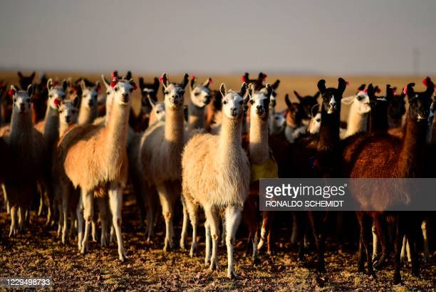 Herd of llamas is seen in Tolapampa, department of Potosi, Bolivia, on November 6, 2020.