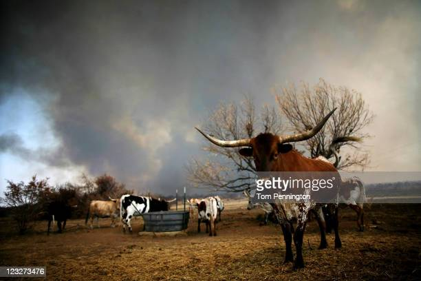 A herd of longhorn cattle stand as wildfire rages near on September 1 2011 in Graford Texas More than 6500 acres and more than 45 homes in the area...
