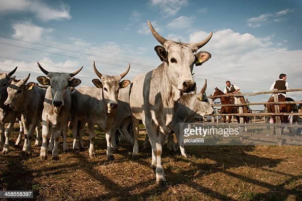 mandria di mucche maremman butteri e i cowboys - pastore maremmano foto e immagini stock