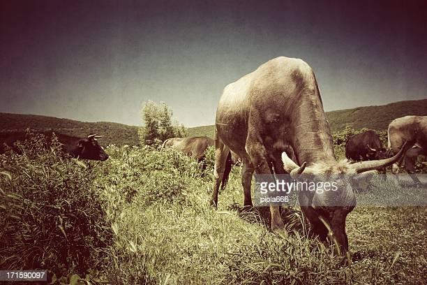 mandria di mucche maremman - pastore maremmano foto e immagini stock