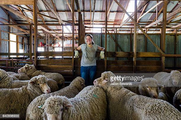 A herd of Merino ewes waiting in a shearing shed pen.