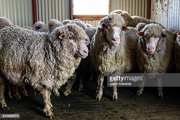A herd of Merino ewes waiting in a shearing shed.