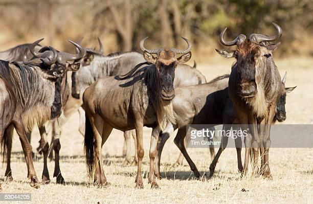 Herd of migrating Blue Wildebeest Grumeti Tanzania