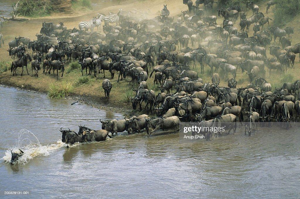 Herd of migrating wildebeest (Connochaetes taurinus) crossing river : Stock Photo