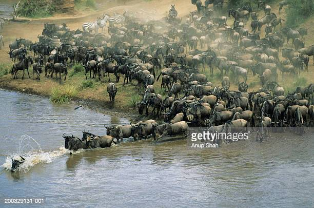 herd of migrating wildebeest (connochaetes taurinus) crossing river - animal migration stock pictures, royalty-free photos & images