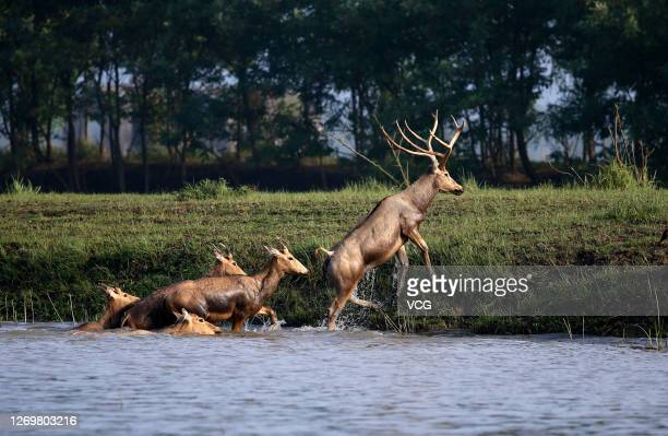 Herd of milu deer are seen on a wetland near the Dafeng Milu National Nature Reserve on August 30, 2020 in Yancheng, Jiangsu Province of China.