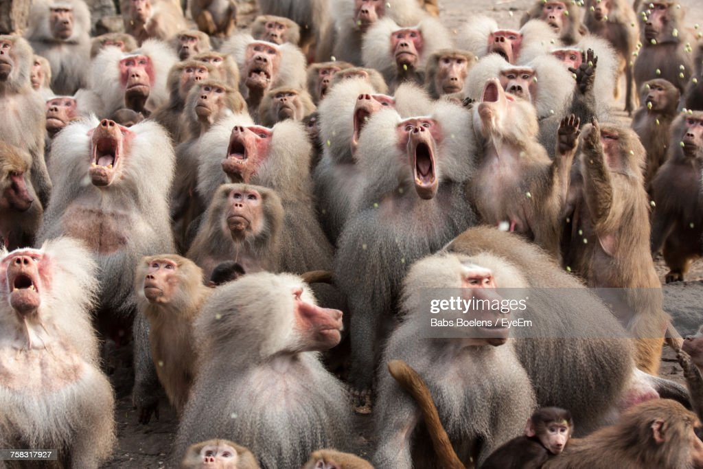 Herd Of Monkeys : Stock Photo