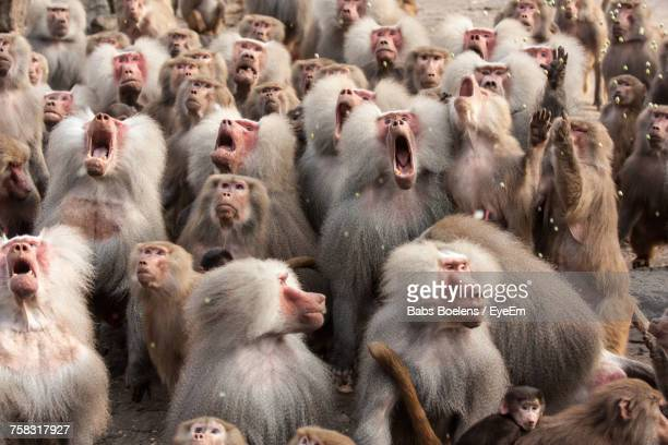 herd of monkeys - un animal fotografías e imágenes de stock