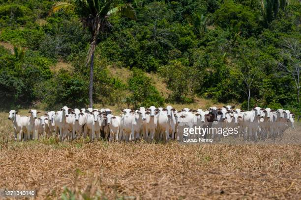 herd of nellore cattle amid dry pasture - cerrado stock pictures, royalty-free photos & images