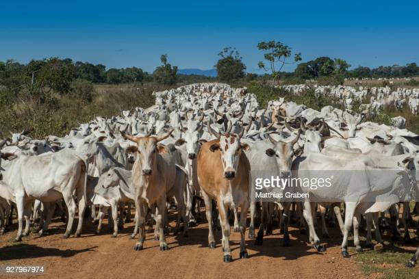 herd of nelore cattle, pantanal, mato grosso do sul, brazil - mato grosso do sul state stock pictures, royalty-free photos & images