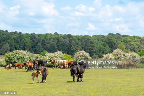 a herd of new forest ponies and young foals in the new forest national park, hampshire, england, uk - pony stock pictures, royalty-free photos & images