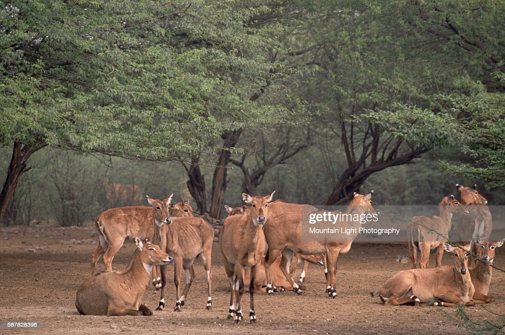 Herd of Nilgais : News Photo