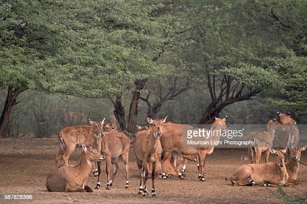 Herd of Nilgais