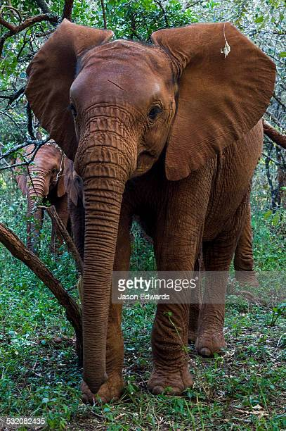 A herd of orphaned African Elephant calves exploring a forest at a wildlife shelter.