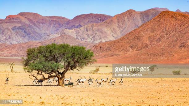 mandria di orice in piedi vicino a una fontana sotto un albero nel panorama del deserto del namib - nature reserve foto e immagini stock