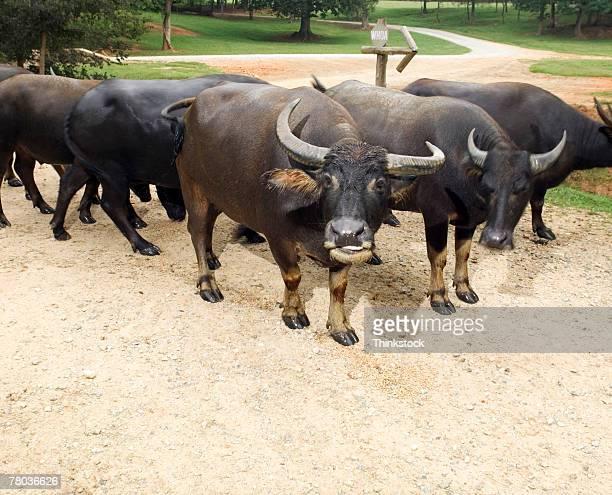 herd of oxen - ox cart stock-fotos und bilder