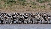 herd plains zebras equus quagga drinking