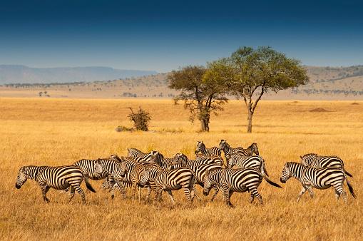 Herd of Plains Zebras in the Serengeti National Park, Tanzania. Plains zebra (Equus quagga, formerly Equus burchellii), also known as the common zebra or Burchell's zebra. 1063081670