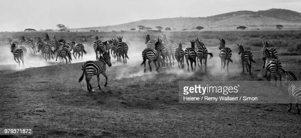 Herd of plains zebras (Equus quagga) running in Serengeti National Park, Tanzania