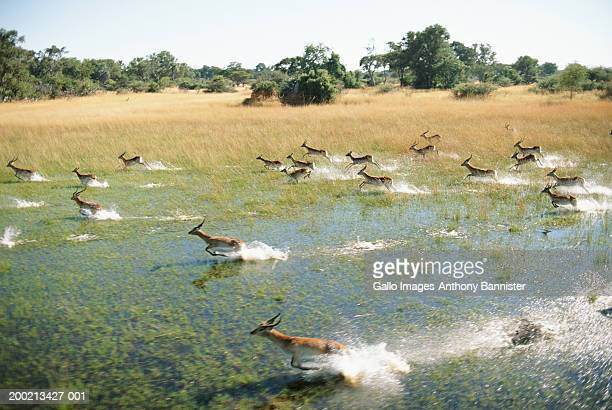 Herd of red lechwe (Kobus leche) running across swamp, elevated view
