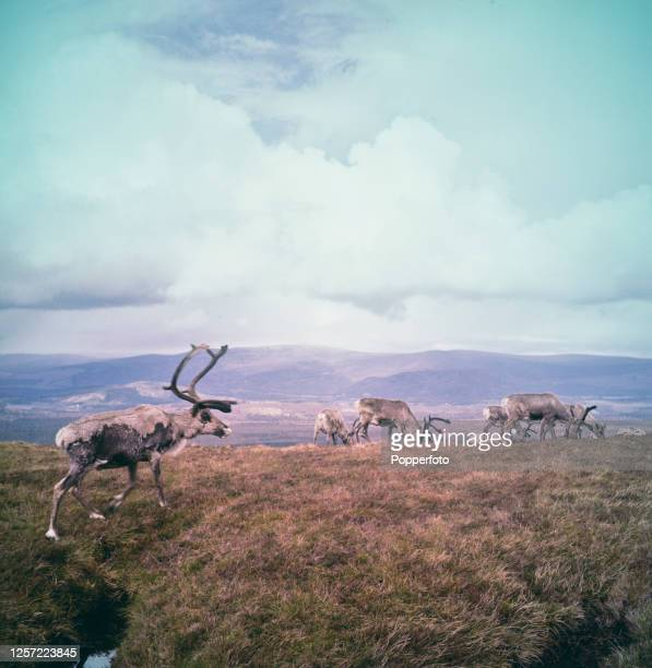 Herd of Reindeer graze on a hillside in the Cairngorns mountain range near Inverness in the Highlands of Scotland in August 1956. Reindeer were first...