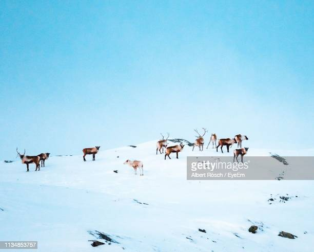 herd of reindeer in snow against clear sky - reindeer stock photos and pictures